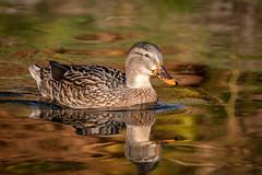 Autumnal Mallard (Glenn.B) Tags: bushypark london nature wildlife duck waterfowl water wildfowl bird avian femalemallard commonmallard mallard
