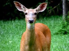 Wildlife encounter (thomasgorman1) Tags: deer portrait looking closeup wildlife grass pennsylvania rural animal ears eyes friendly curious canon