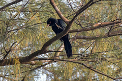 V for Victory ! (proy21) Tags: koel blackbird bird singingbird jamunadighi burdwan bengal nikon d3300 tamron100400