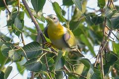 Yellow footed green pigeon (proy21) Tags: bird jamunadighi bengal burdwan nikon d3300 tamron100400 nature pigeon yellowfootedgreenpigeon
