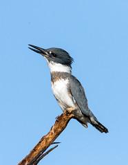 Belted Kingfisher (Ed Sivon) Tags: america canon nature lasvegas wildlife western wild white southwest desert clarkcounty vegas flickr bird henderson nevada park