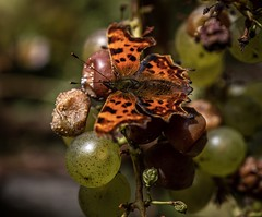 Butterfly and grapes (andymulhearn) Tags: butterfly grapes z6 2470mmf4s nikon hestercombe