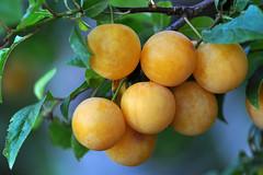 Mirabelle plum or Cherry plum (Prunus domestica subsp. syriaca) (natureloving) Tags: mirabelleplum mirabelle prunecherry plumprunus domestica subsp syriacamacronaturefruitnaturelovingnikond90afs vr micronikkor 105mm f28g ifed