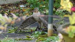 Sparrowhawk In Garden With Starling Lunch (rq uk) Tags: rquk nikon d750 nikond750 afsnikkor70200mmf28efledvr birdsofprey sparrowhawk garden