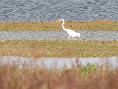 Great Egret (Ardea alba) (Service Dolphin) Tags: abberton essex reservoir ewt birds herons egrets essexwildlifetrust greategret