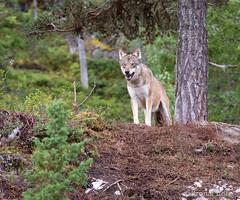 Wolf, Vassfaret bjørnepark, Norway (KronaPhoto) Tags: natur 2019 sommer zoo wolf ulv animal dyrepark flå norway bjørnepark vassfgaret tourism nature ilovenature