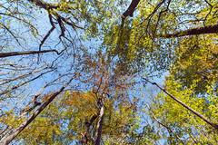 Gazing Up At Autumn (Richard Melton) Tags: autumn trees meike alabama