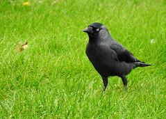 Corvus monedula (M.L Photographie) Tags: animal nature bird oiseau ornitho ornithology ornithologie wild wildlife wildlifephotography corvus choucas denmark danemark coolpix nikon p900