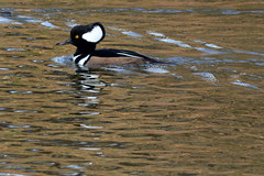 Hooded Merganser (Astral Will) Tags: bird duck divingduck merganser hoodedmerganser reflection eye