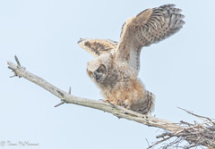 Branching Great-horned Owlet (NorthShoreTina) Tags: owlet greathornedowl owl