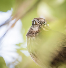 Watching. (Omygodtom) Tags: wildlife bird sparrow bush natural nikon70300mmvrlens nikkor d7100 selectivefocus scene