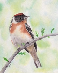 Bay-breasted Warbler (Robin Arnold) Tags: warner birdart watercolorpainting wildlifeart illustration artwork baybreastedwarbler birds wildlife animal nature