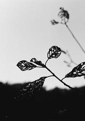 Paravent (Oxygyrus) Tags: argentique halfformat zuiko olympuspen olympus nature blackandwhite film washi washid analog
