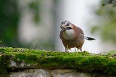 Geai des chênes Garrulus glandarius - Eurasian Jay 0465_DxO (Zoizeaux de Gabriel) Tags: nikonz7 500mmf4 occitanie lot quercy oiseauxnet eurasianjay geaideschênes garrulusglandarius