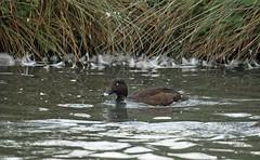 Hardhead, WWT Slimbridge, UK (inyathi) Tags: uk england gloucestershire wwt slimbridge wildfowlandwetlandstrust wildfowl waterfowl birds ducks hardhead aythyaaustralis