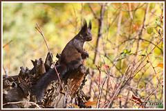 Ecureuil 191113-01-P (paul.vetter) Tags: écureuil mammifère sciuridé squirrel eichhörnchen ardilla