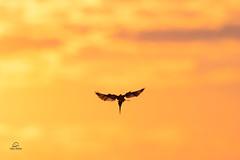 Tiny Diver (Glatz Nature Photography) Tags: onthewing birdinflight bird silhouette dive kingfisher piedkingfisher cerylerudis africa botswana choberiver glatznaturephotography nature nikond850 wildanimal wildlife
