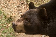 Black Bear - A story 502_2017.jpg (Mobile Lynn) Tags: nature brownbear landmammals bear fauna mammal mammals wildlife gray maine unitedstatesofamerica
