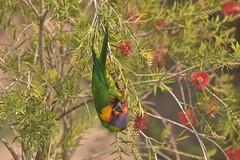 Rainbow Lorikeet (Luke6876) Tags: rainbowlorikeet lorikeet parrot animal wildlife australianwildlife nature