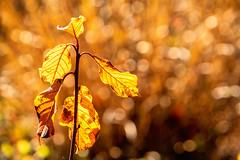 Warmth and Glow (*Capture the Moment*) Tags: 2018 2019 backlight backlit bäume filze fotowalk gegenlicht inzell landschaften sonya6300 sonye356318200oss sonyilce6300 trees