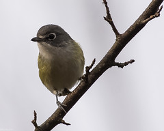 An infrequent visitor (Fred Roe) Tags: nikond7100 nikonafsnikkor200500mm156eed nature naturephotography national wildlife wildlifephotography animals birds birding birdwatching birdwatcher vireo blueheadedvireo vireosolitarius colors outside flickr feet peacevalleypark