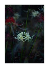 This work is 7/15 works taken on 2019/10/05 (shin ikegami) Tags: sony ilce7m2 a7ii sonycamera 50mm lomography lomoartlens newjupiter3 tokyo 単焦点 iso800 ndfilter light shadow 自然 nature naturephotography 玉ボケ bokeh depthoffield art artphotography japan earth asia portrait portraitphotography