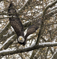 We have lift-off..... (Kevin Povenz Thanks for all the views and comments) Tags: 2019 november kevinpovenz westmichigan michigan ottawa ottawacounty ottawacountyparks grandravinesnorth nature wildlife bird birdsofprey baldeagle eagle early earlymorning wings outdoors outside tree branches flight fly