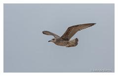 Cruising level (Joao de Barros) Tags: joão barros bird seagull animal wild nature