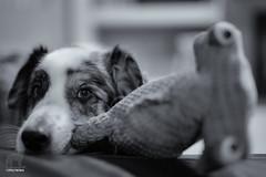 Ode to Harry Hammerhead (Jasper's Human) Tags: hammerhead au aussie dog toy play