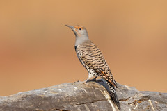 Northern Flicker (X9B_6643-1) (Eric SF) Tags: northernflicker flicker woodpecker coyotehillsregionalpark fremont ca