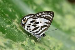 8581-2 (laba laba) Tags: ipassa research station ipassaresearchstation ivindo national park ivindonationalpark africa gabon rainforest nature macro closeup insect butterfly anthene bitje anthenebitje