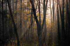 In a Dense Woods (cezary.morga) Tags: landscape nature poland flora forest woods trees morning autumn outdoors