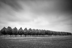 Tree Farm (Bernd Walz) Tags: trees tree treefarm landscape countryside rural transformedlandscape artificiallandscape blackandwhite bnw bw nonochrome fineart minimalism minimalistic longexposure