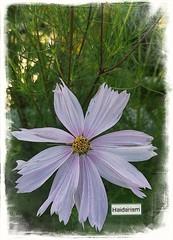 Busy! (haidarism (Home Sweet Home)) Tags: nature creation creative flower create ngc