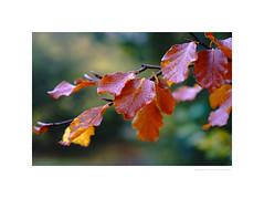 Rain-speckled leaves (G. Postlethwaite esq.) Tags: dof derbyshire etwall macro tarabuddhistcentre unlimitedphotos autumn beech bokeh closeup depthoffield leaves photoborder raindrops selectivefocus