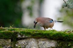 Geai des chênes Garrulus glandarius - Eurasian Jay  0462_DxO (Zoizeaux de Gabriel) Tags: nikonz7 500mmf4 geaideschênes eurasianjay garrulusglandarius occitanie lot quercy oiseauxnet