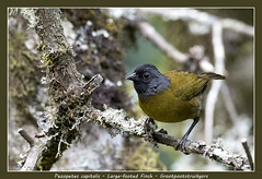 Large-footed finch (Jan H. Boer, Nature photographer) Tags: pezopetescapitalis largefootedfinch grootpootstruikgors birds finches nature wildlife cloudforest costarica sangerardodedota highlands nikon d500 afsnikkor200500f56eedvr jan´sphotostream2019