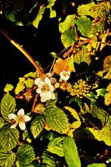 Late flowering Bramble (Fr Paul Hackett) Tags: autumn flower leaves thorns sunshine hedge