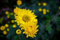 Yellow flower. (denkuznets81) Tags: flower floral yellow nature green garden autumn beautiful цветы цветок природа сад bloom blossom