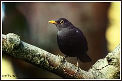 Merle noir 191113-01-P (paul.vetter) Tags: turdusmerula faune avifaune oiseau merlenoir commonblackbird mirlocomún melro amsel turdidés