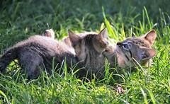 Kittens playing - Sardinia (En memoria de Zarpazos, mi valiente y mimoso tigre) Tags: kittens playing grass green garden tabbykitten tabby cat gatitos jugando brothers friends sardegna sardinia cerdeña
