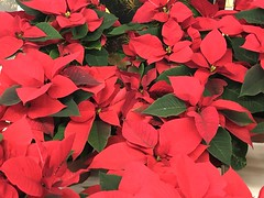 Poinsettia (tabbynera) Tags: poinsettia