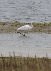 Great Egret (Ardea alba) (Service Dolphin) Tags: abberton reservoir essex essexwildlifetrust birds herons egrets greategret water