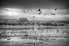 Sandhill Cranes in Flight (Robert_Brown [bracketed]) Tags: robertbrown thesilvercityphotographer bosque bosquedelapache national wildlife refuge sanantonio newmexico sandhill cranes birds inflight flight water pond lake blackandwhite clouds bw dawn sunrise canon75300 egrets ducks geese southwest