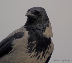 Hooded crow (patrickcolhoun) Tags: hoodedcrow greycrow bird nature wildife animal buncrana donegal ireland birdwatch