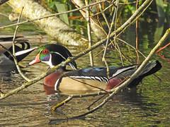 Wood Duck (davidhampton1066) Tags: woodduck duck bird animal nature reading berkshire