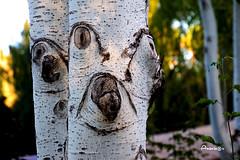 13_The Watchtrees (Anavicor) Tags: pareidolia tree árbol parque park bokeh parquedecantarranas álamo chopo whitepoplar álamoblanco anavicor anavillar villarcorreroana nikon tamron