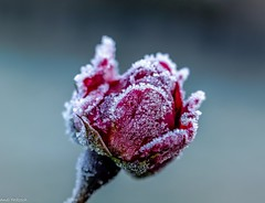 Eiszauber (Andi Fritzsch) Tags: fantasticnature rose roterose redrose eis ice flickerunited flickerunitedaward