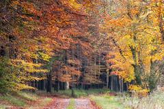 09112019-DSC_0021 (vidjanma) Tags: bihain arbres automne chemin couleurs forêt