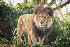 King of the Jungle (Mark Wingfield) Tags: lion zoo washington dc nikon d850 handheld sigma 70200mm outdoors outside national beautiful mighty dominant mane cat big large africa green yellow golden brown